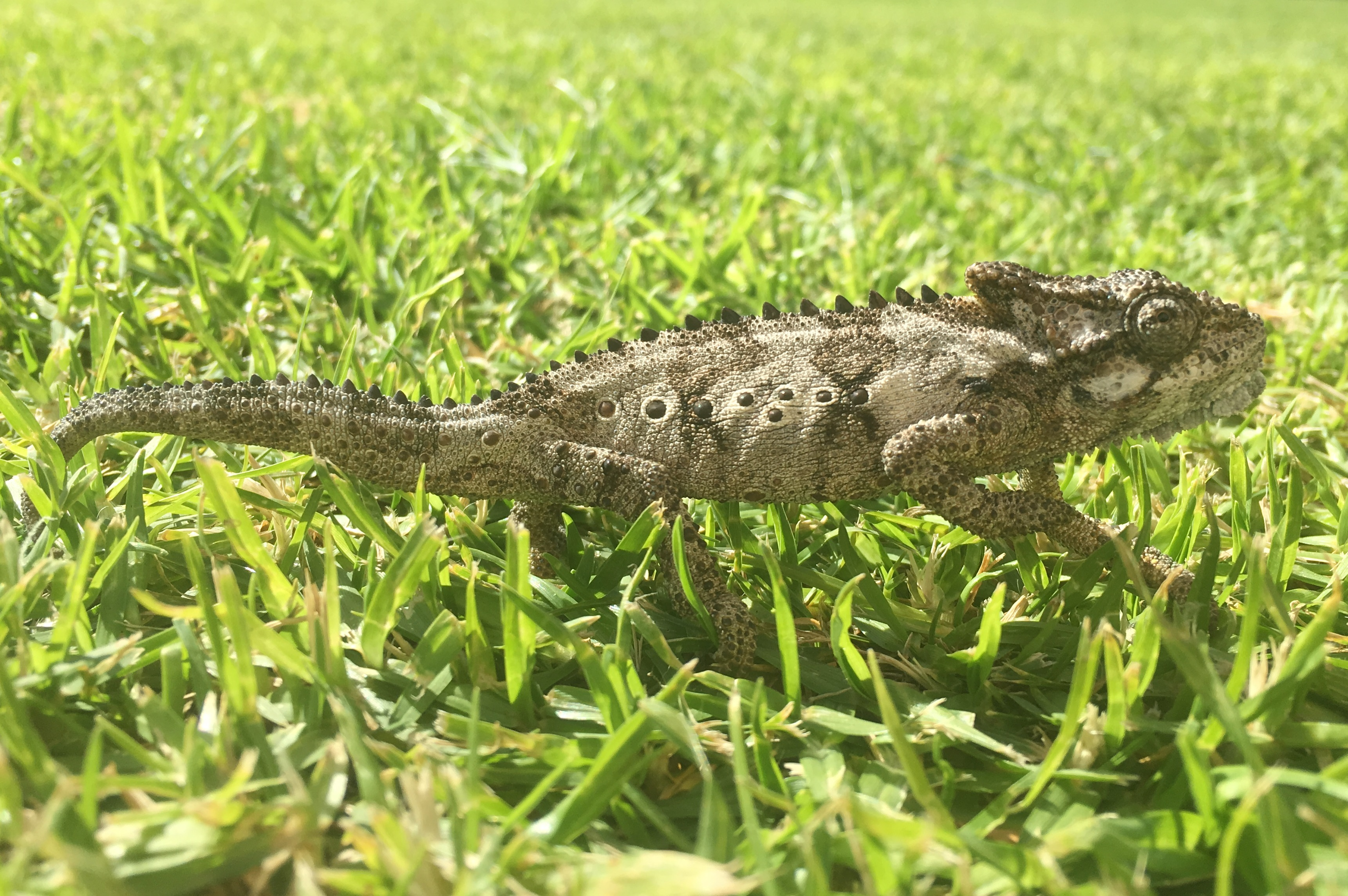 A Reptilian encounter in suburban South Africa