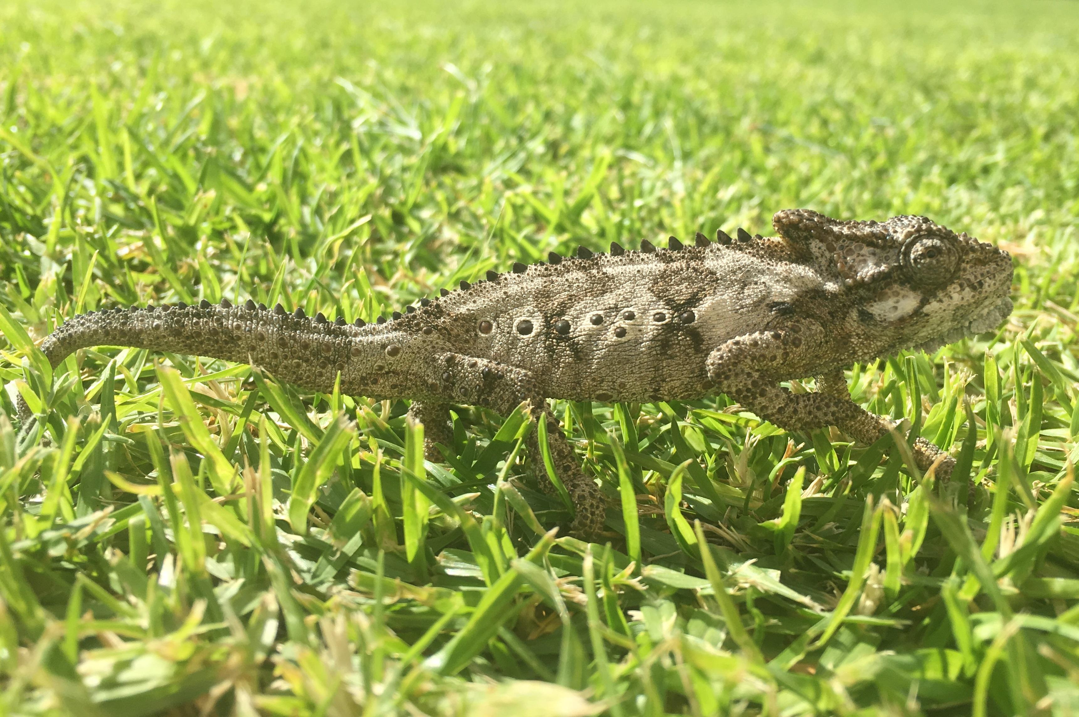 A Reptilian encounter in suburban South Africa