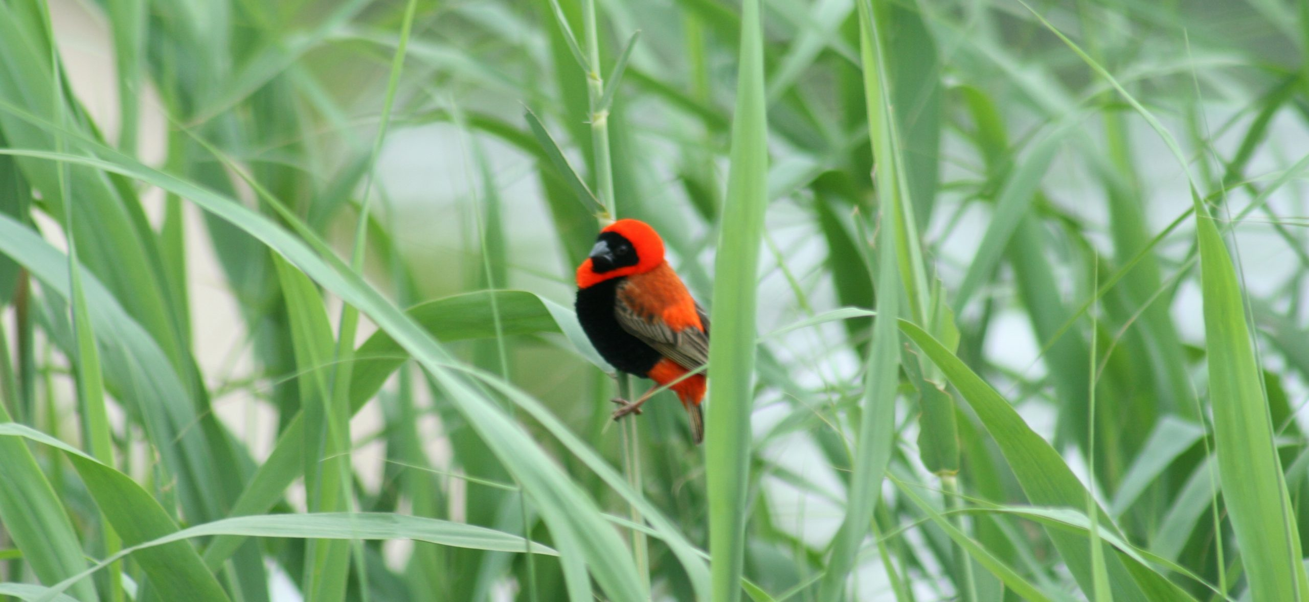 The southern red bishop